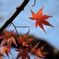 冬空に紅葉