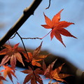 Photos: 冬空に紅葉