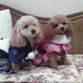 Photos: 犬 トイプー