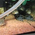Photos: 20140630 60cmコリドラス水槽のインペリアルゼブラプレコ