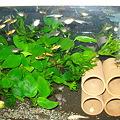 20100914 41cm水槽のエンドラーズ