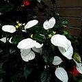 写真: 真白き妖精!ホワイトコンロンカ(自宅の花)