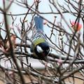 Photos: 冬鳥・・シジュウカラ 1  11:20