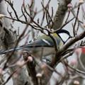 Photos: 冬鳥・・シジュウカラ 2  11:20