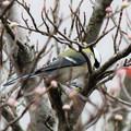 Photos: 冬鳥・・シジュウカラ 3  11:20