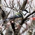 Photos: 冬鳥・・シジュウカラ 4  11:20