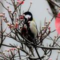 Photos: 冬鳥・・シジュウカラ 5  11:20