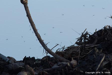 廃棄レンコンから発生する、ガガンボの一種