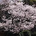 玉縄桜満開(^^)