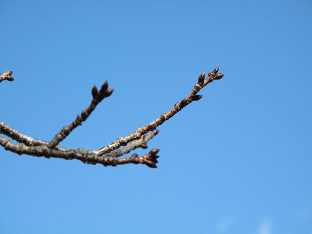 IMG_8914 桜の蕾はまだまだ固い
