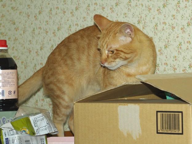 写真: 2008年11月06日の茶トラのボクちん(4歳)