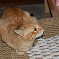 写真: 2008年11月18日の茶トラのボクチン(4歳)