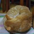 写真: 2011年11月28日の茶トラのボクチン(7歳)