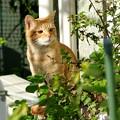 写真: 2008年11月30日の茶トラのボクちん(4歳)