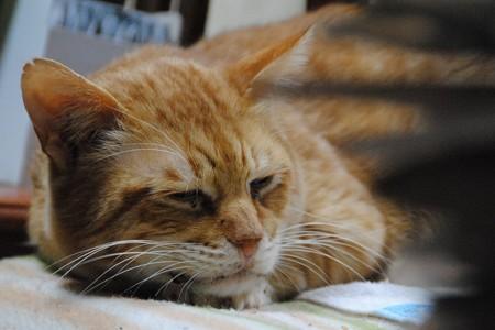 2010年12月18日の茶トラのボクちん(6歳)
