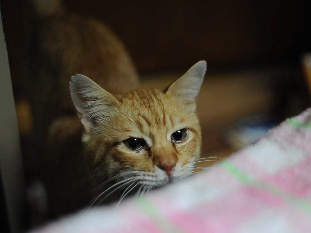 写真: 2010年12月22日の茶トラのボクチン(6歳)