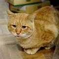 写真: 2009年12月26日の茶トラのボクちん(5歳)