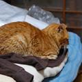 写真: 2011年12月26日の茶トラのボクちん(7歳)
