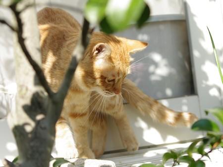 2008年12月30日の茶トラのボクちん(4歳)