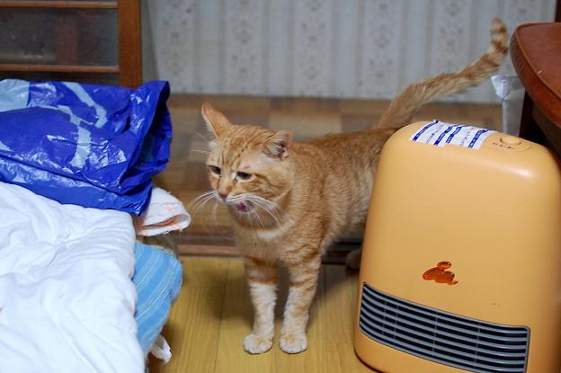 写真: 2010年12月30日の茶トラのボクちん(6歳)