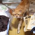 写真: 2012年01月03日の茶トラのボクちん(7歳)
