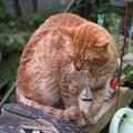 写真: 2012年01月09日の茶トラのボクチン(7歳)