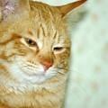 写真: 2009年01月18日の茶トラのボクチン(4歳)