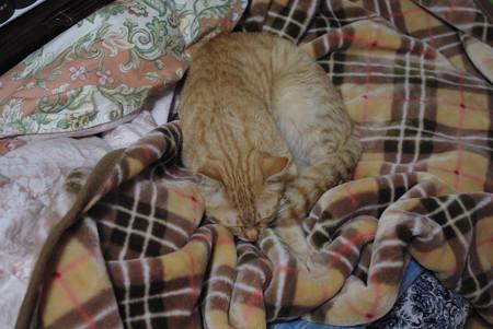 2009年01月26日の茶トラのボクチン(4歳)
