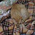 写真: 2009年01月26日の茶トラのボクチン(4歳)