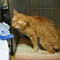 写真: 2010年01月28日の茶トラのボクチン(5歳)