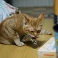 写真: 2011年01月28日の茶トラのボクチン(6歳)