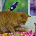 写真: 2012年03月01日の茶トラのボクチン(7歳)