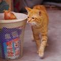 写真: 2011年03月03日の茶トラのボクチン(6歳)