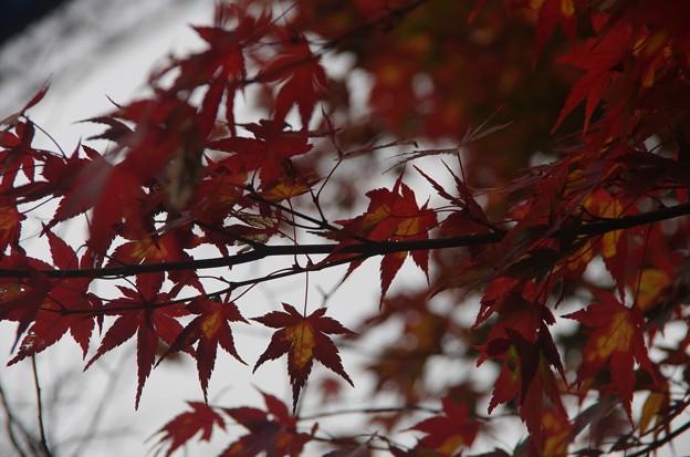 紅葉2014 (常陸太田 竜神ダム)