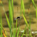 写真: ハラビロトンボ♂(2014/05/11 東山植物園)
