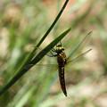 写真: ハラビロトンボ♂未成熟(2014/05/11 東山植物園)