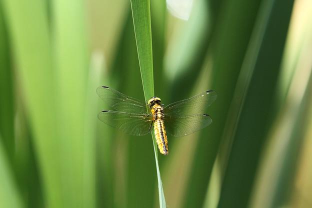 ハラビロトンボ♀(2014/05/11 東山植物園)