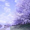 Photos: 異次元空間演出中 桜
