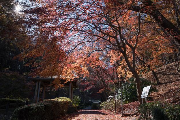 【薬師池公園:道沿いの紅葉】3