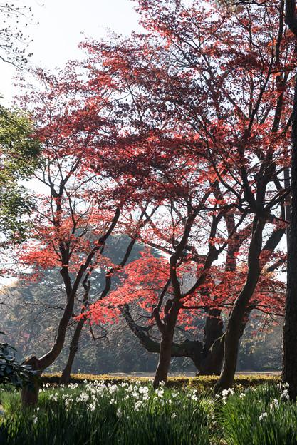 【新宿御苑:紅葉と水仙】