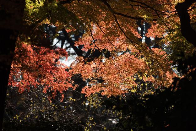 【新宿御苑:もみじ山の木と紅葉】2