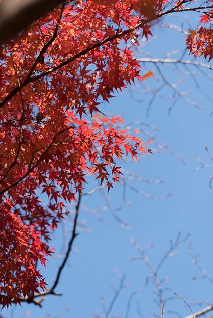 【新宿御苑:真っ赤な紅葉】1