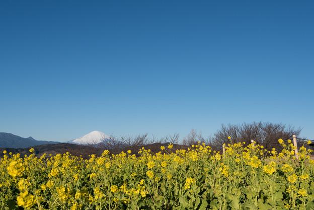 【吾妻山公園の「菜の花」と「富士山」】1