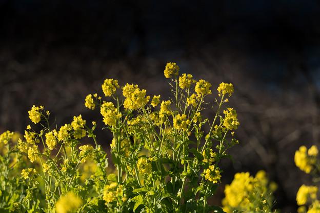 【吾妻山公園の「菜の花」】1