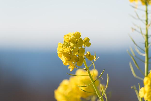 【吾妻山公園の「菜の花」】2