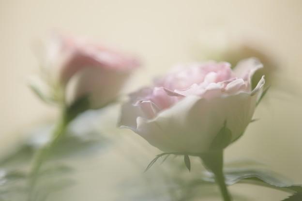 ミニ薔薇 1