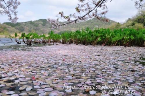 花びらで埋まった深泥池の入江