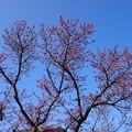 Photos: カンヒザクラが咲き始めました1