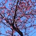 Photos: カンヒザクラが咲き始めました2