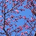Photos: カンヒザクラが咲き始めました3